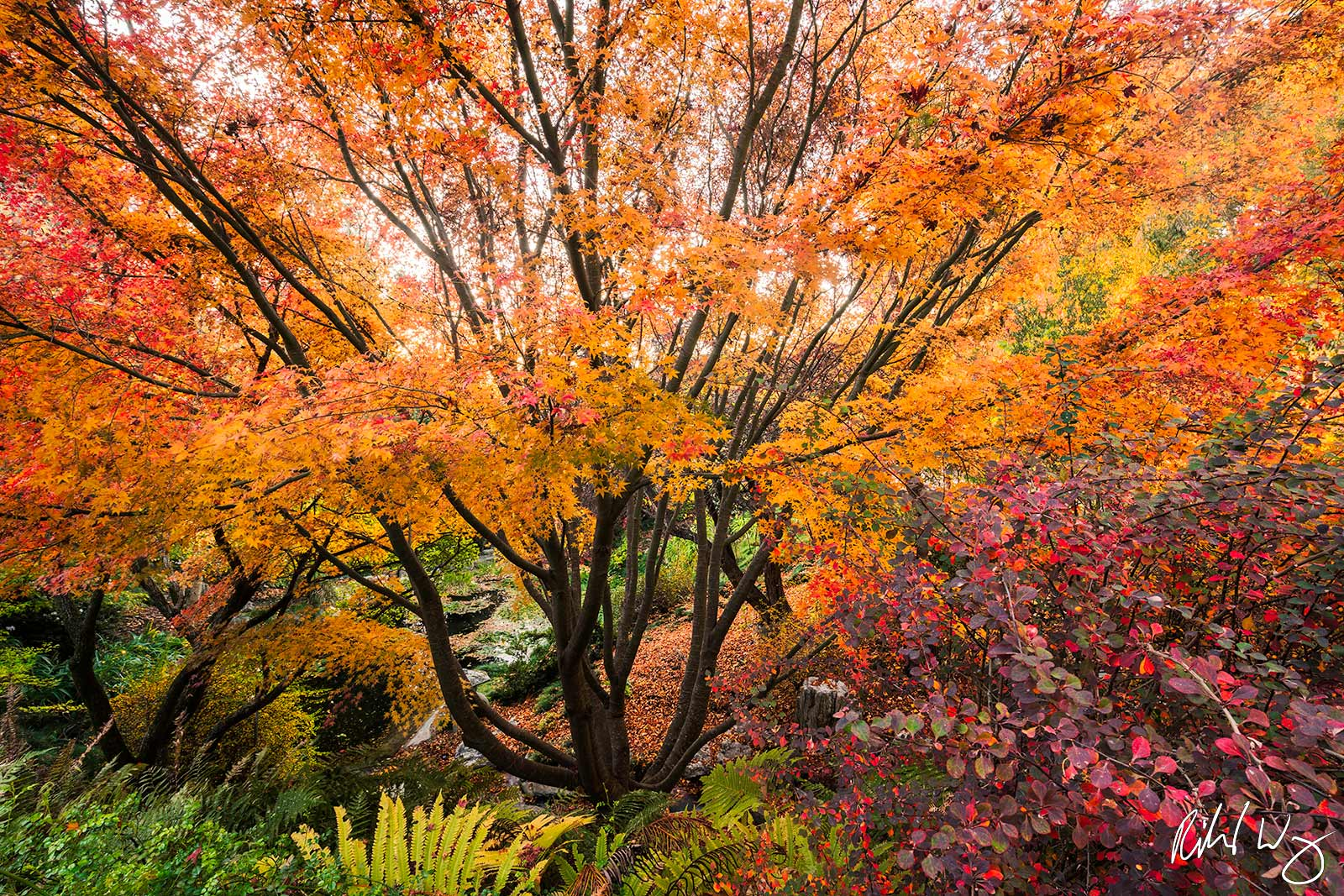 Japanese Maple Tree at UC Berkeley Botanical Garden, Berkeley, California, photo, photo