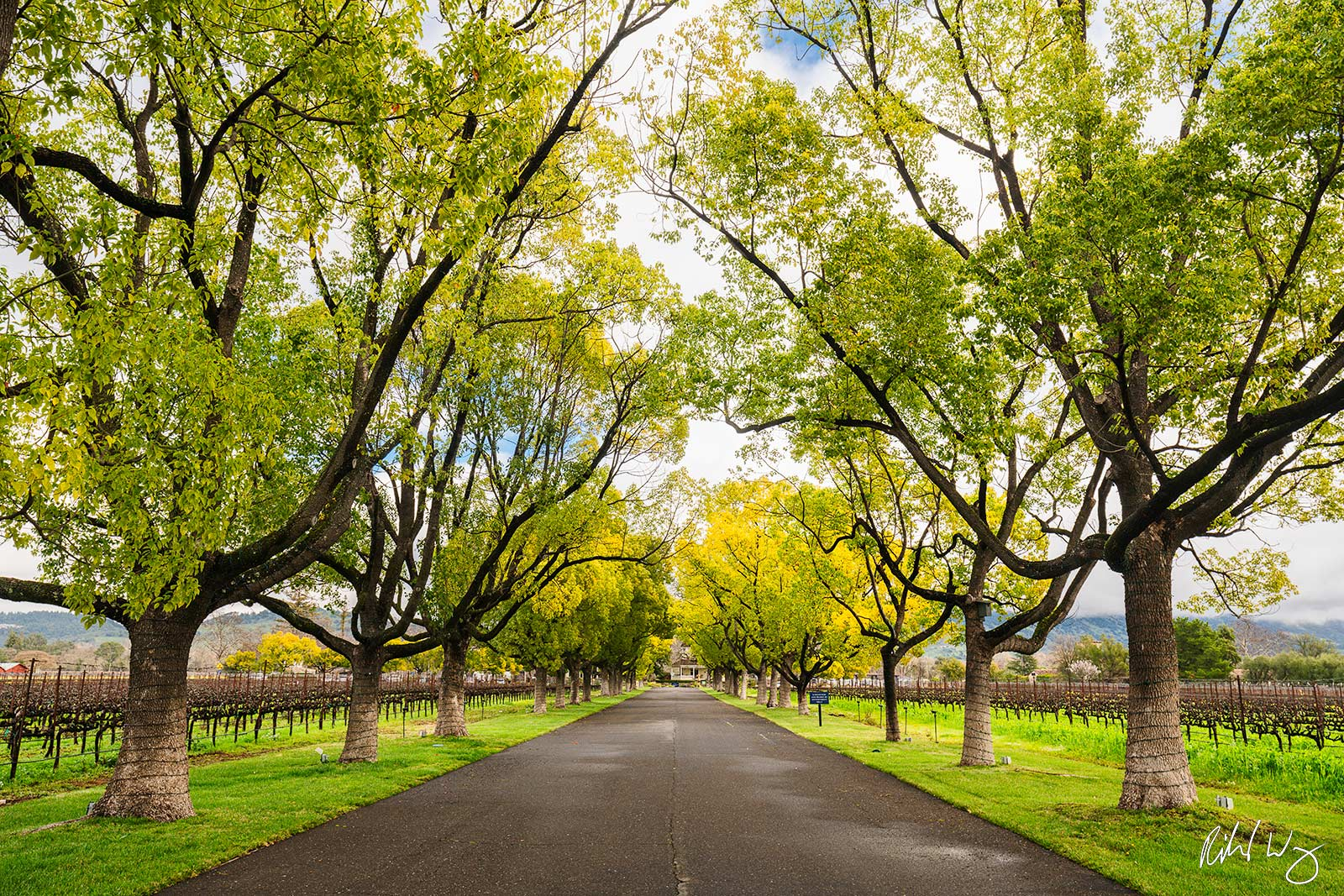 Tree Tunnel Driveway, Rutherford, California, photo