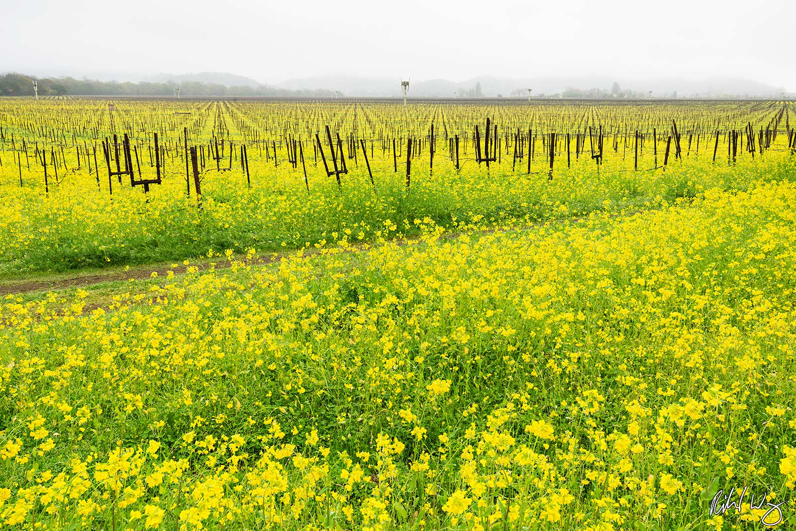 Mustard Flowers in Vineyard, Yountville, California, photo