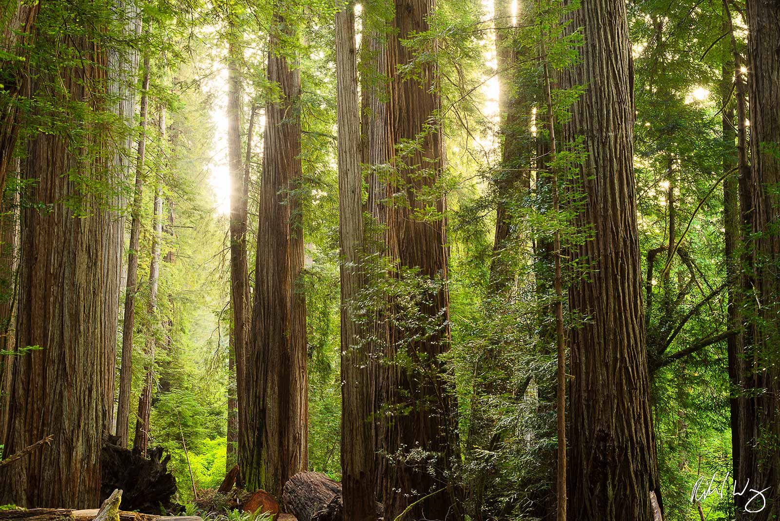 Old-Growth Redwood Forest, Jedediah Smith Redwoods State Park, California