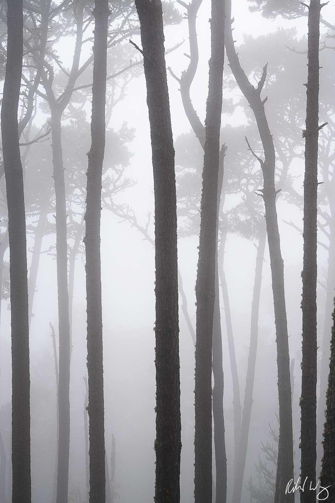 Monterey Pines In Fog, Pebble Beach, California, photo