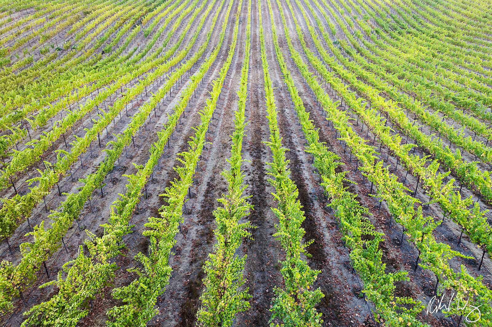 Rows of Vineyard, Alexander Valley AVA, California, photo