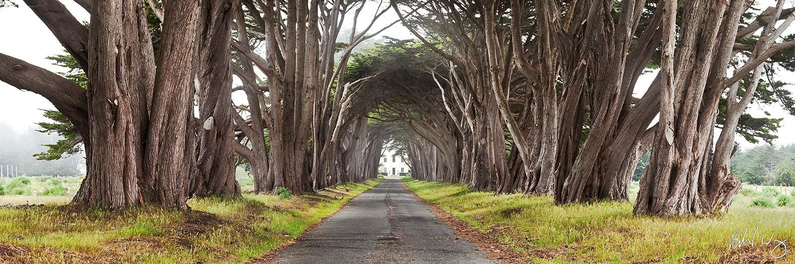 Monterey Cypress Tree Tunnel Panoramic Photo, Point Reyes National Seashore, California, photo, photo