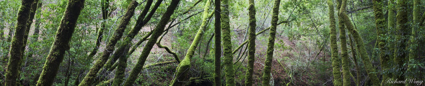Mossy Forest Panoramic Photo, Cascade Canyon Open Space Preserve, California, photo, photo