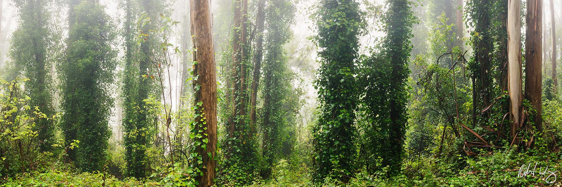 Foggy Eucalyptus Forest Panoramic, San Francisco, California, photo, photo